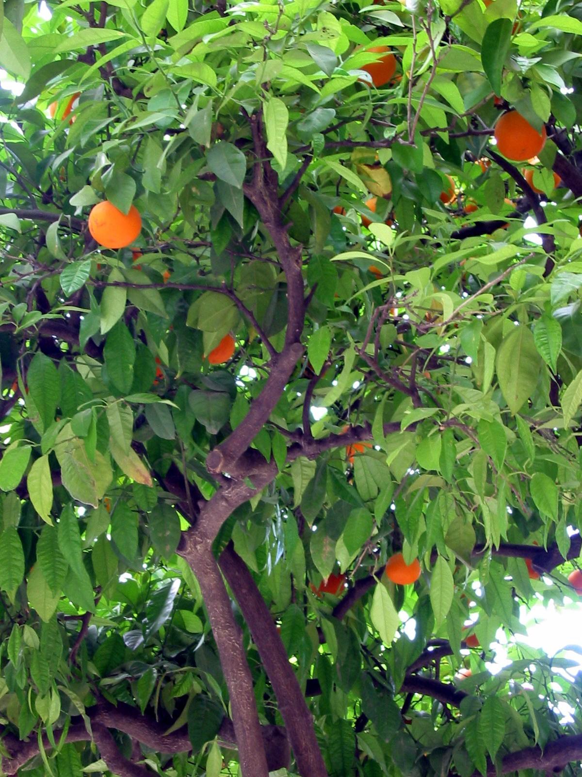 Obstbaum u2013 Wiktionary