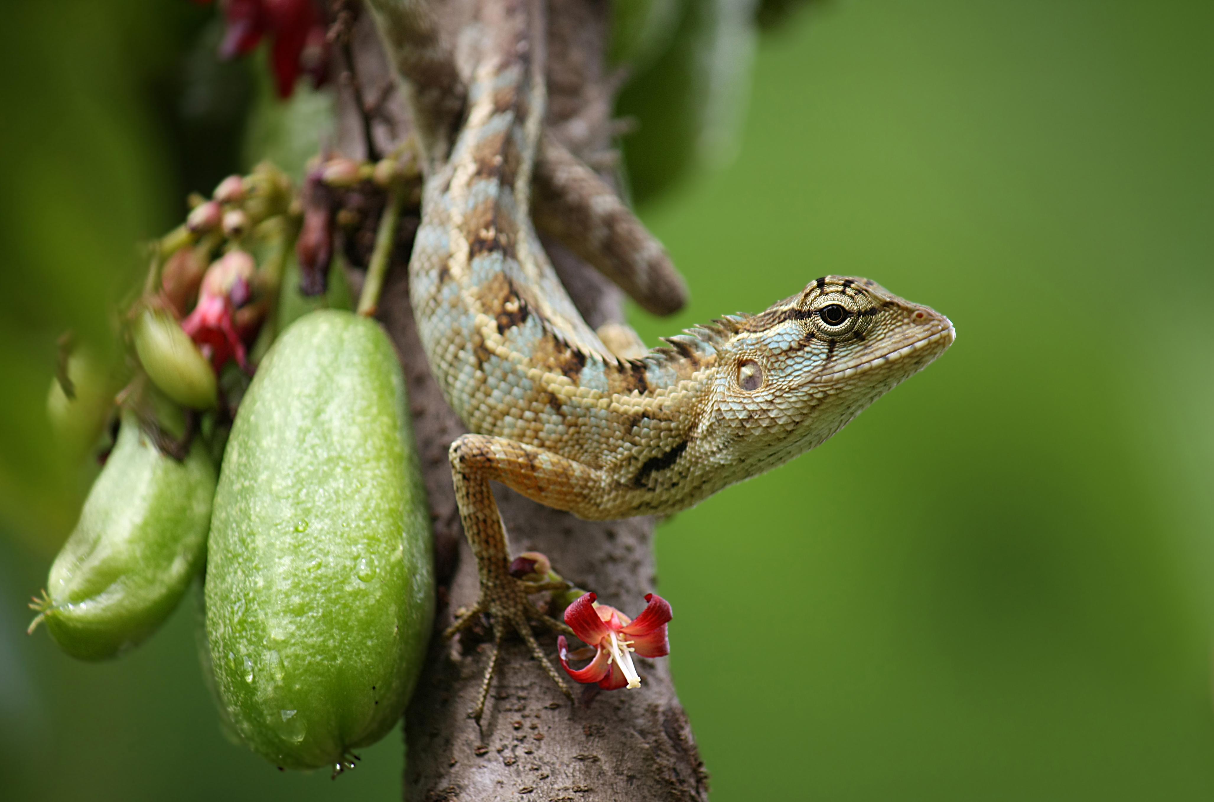 fileoriental garden lizard calotes versicolorjpg - Garden Lizard