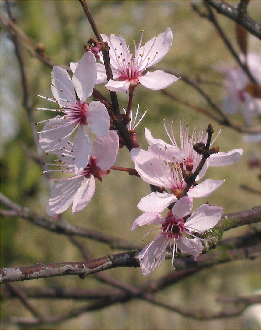 Prunus cerasifera Nigra.jpg