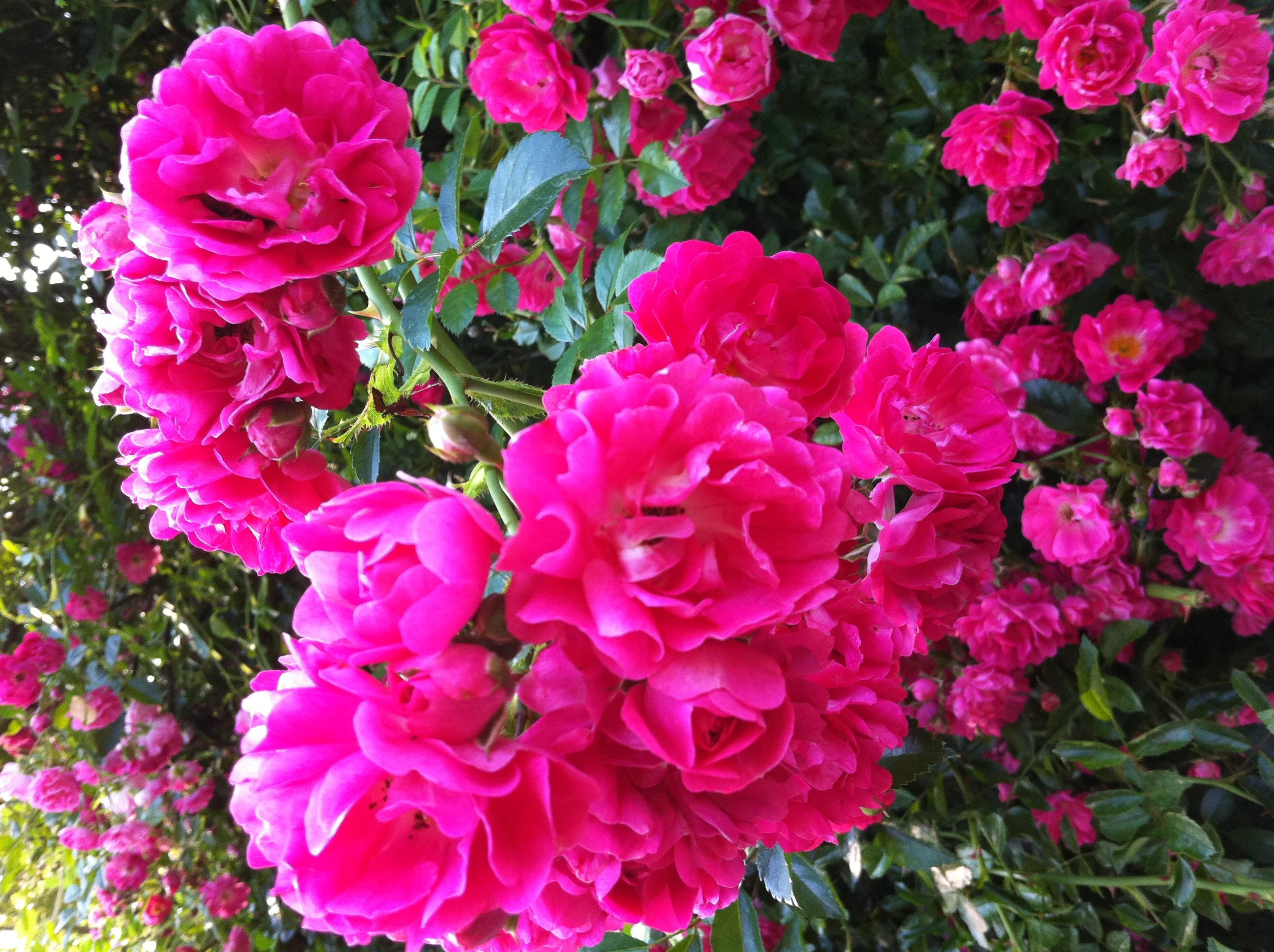 Wonderful Cape Cod Rose Part - 4: File:Rambler Roses Cape Cod.jpg