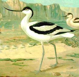 Recurvirostra avosetta ryc.jpg