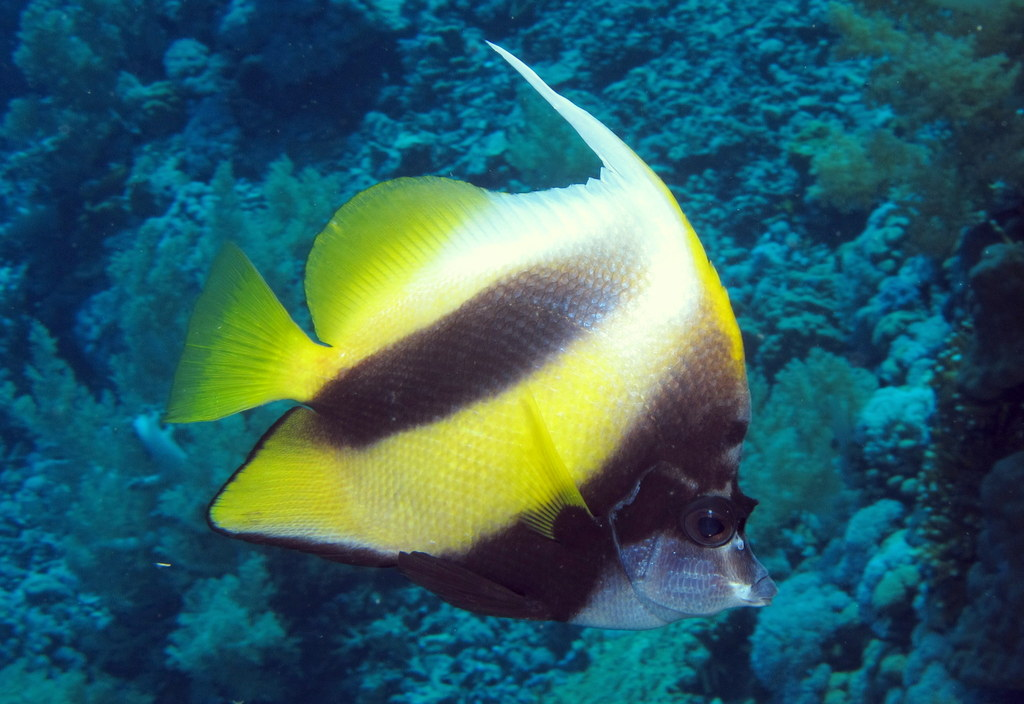 Red_Sea_bannerfish on F Is For Fish