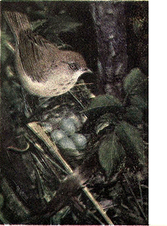 File:Reed-wilsons-thrush.png