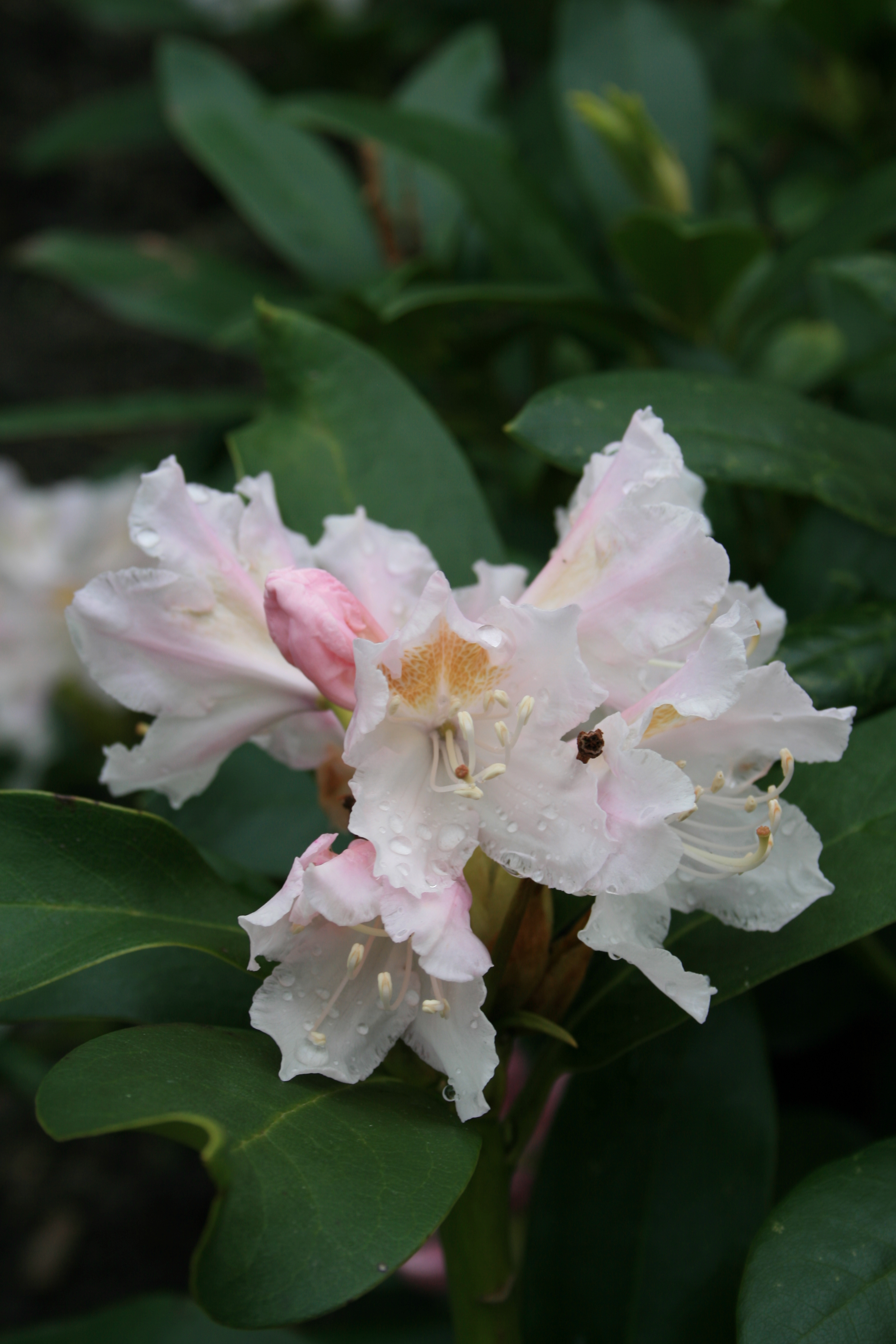 file rhododendron 39 cunningham 39 s white 39 3 jpg wikimedia. Black Bedroom Furniture Sets. Home Design Ideas