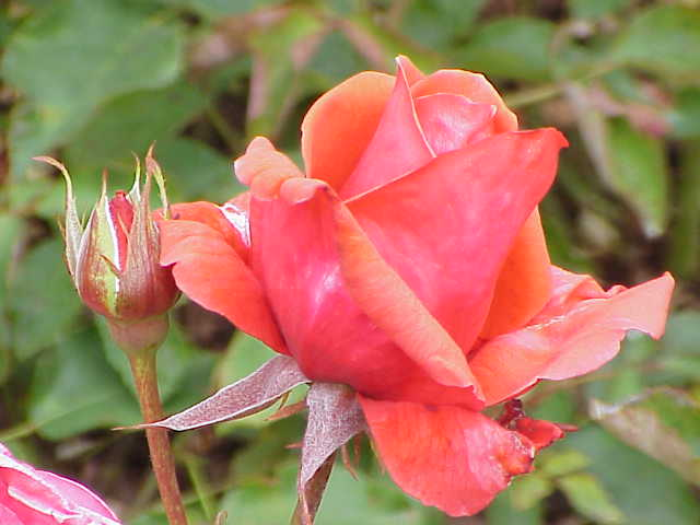 Rosa sp.88