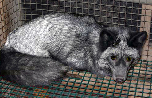 Chinchilla Fur Farm Caged red fox (silver morph).