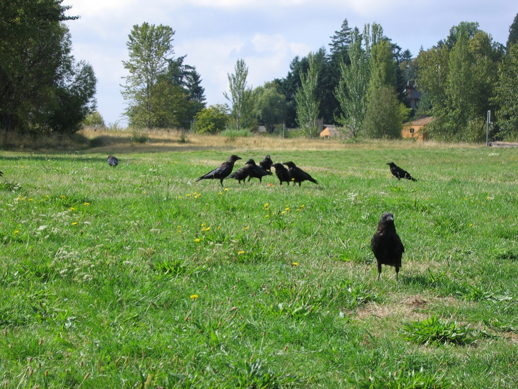 Eine Gruppe Krähen auf einer Wiese