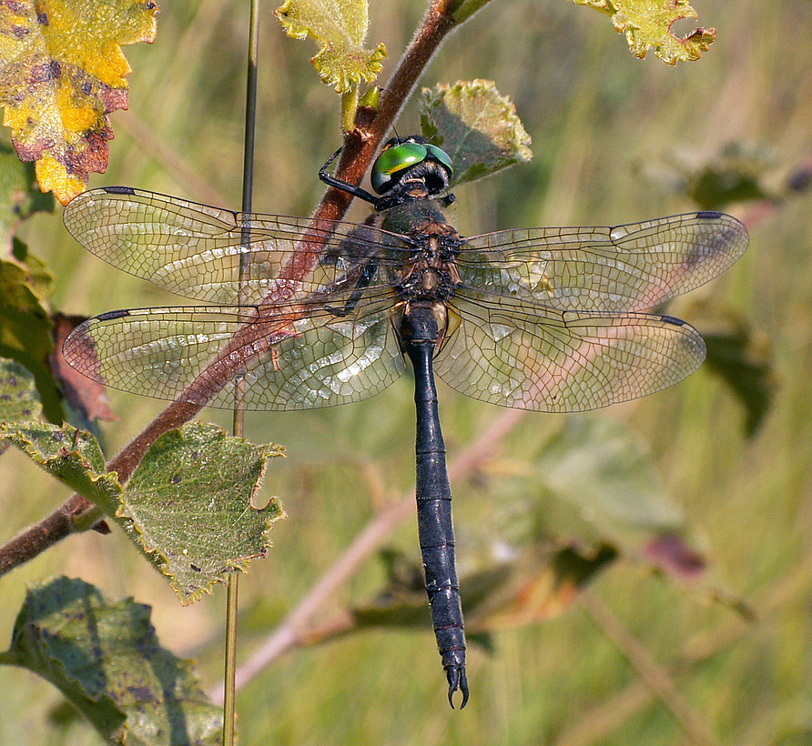 Male northern emerald