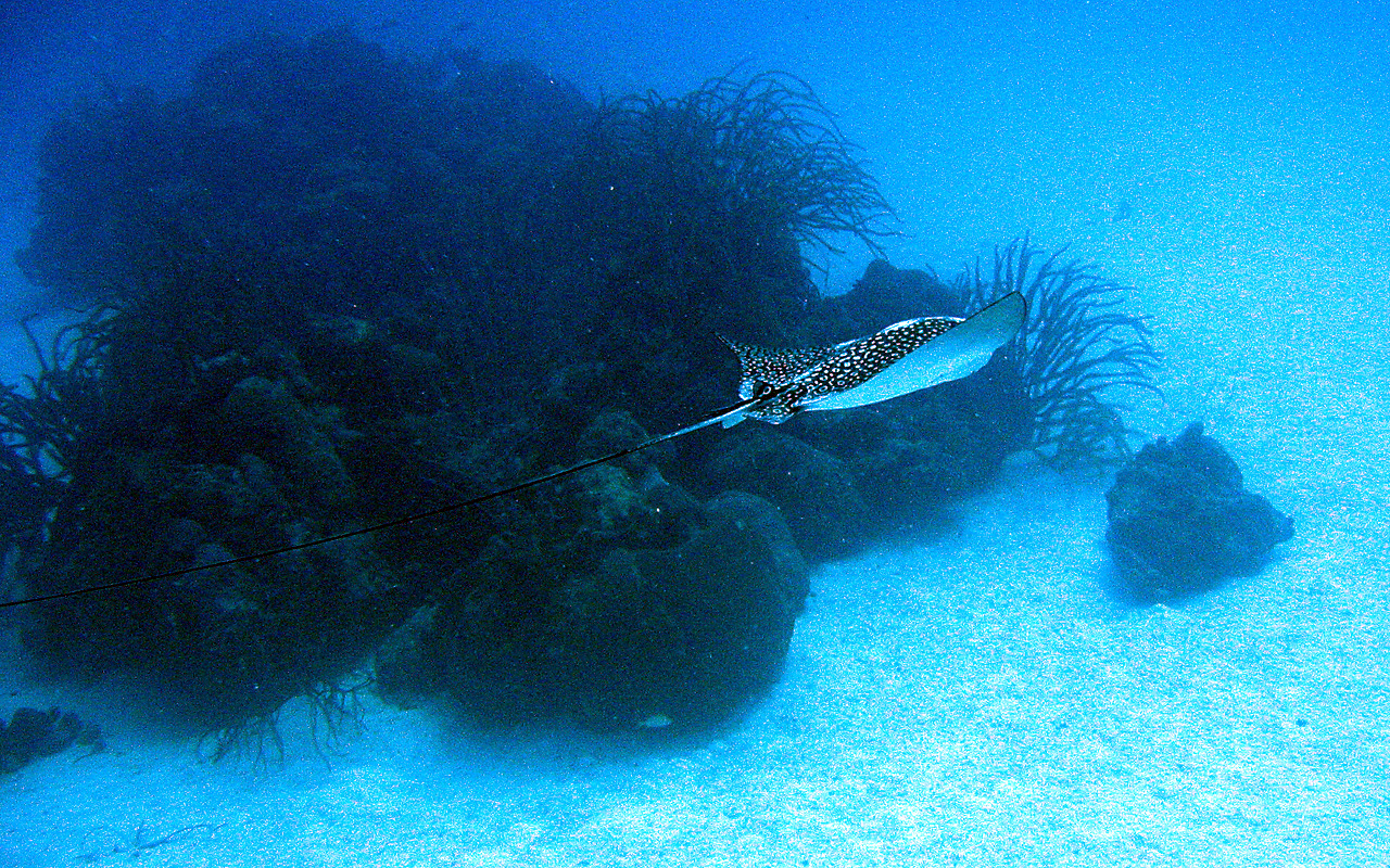 filespotted eagle ray side viewjpg wikimedia commons
