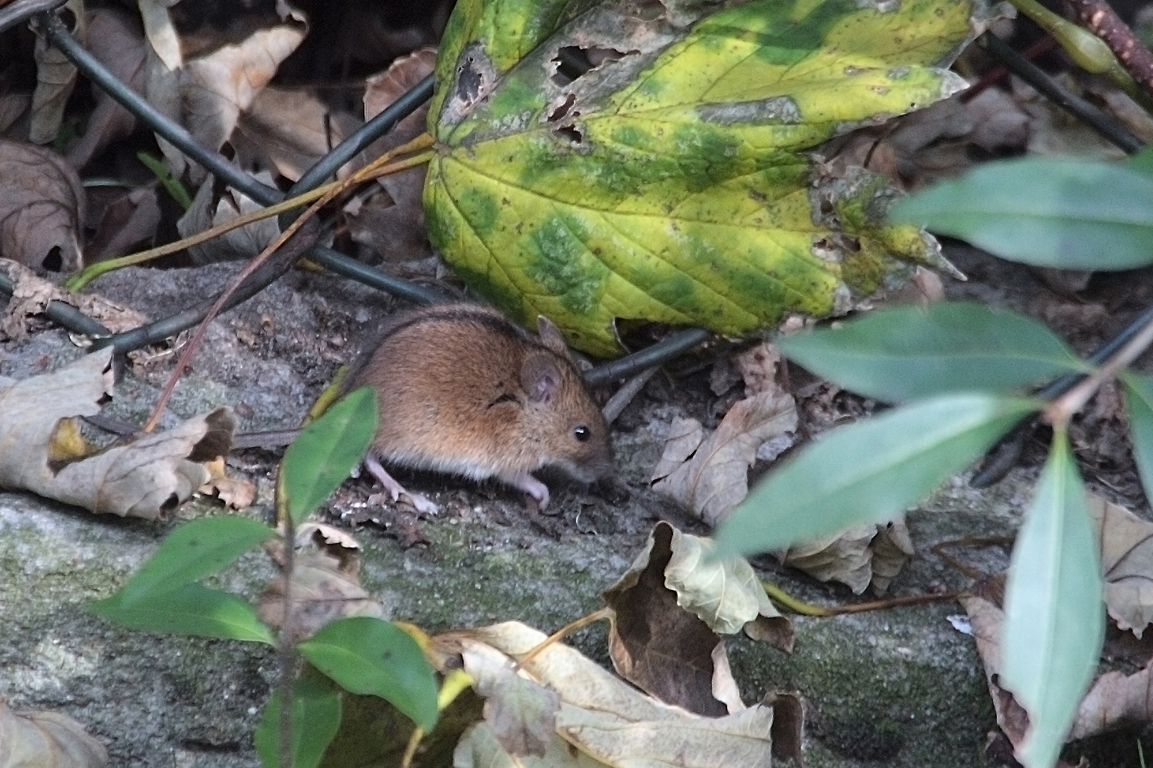 the field mouse Field mice are passive land creatures that squeak and add a nice atmosphere to the plains biome a mouse can be killed for raw mouse these can be used to tame owls.