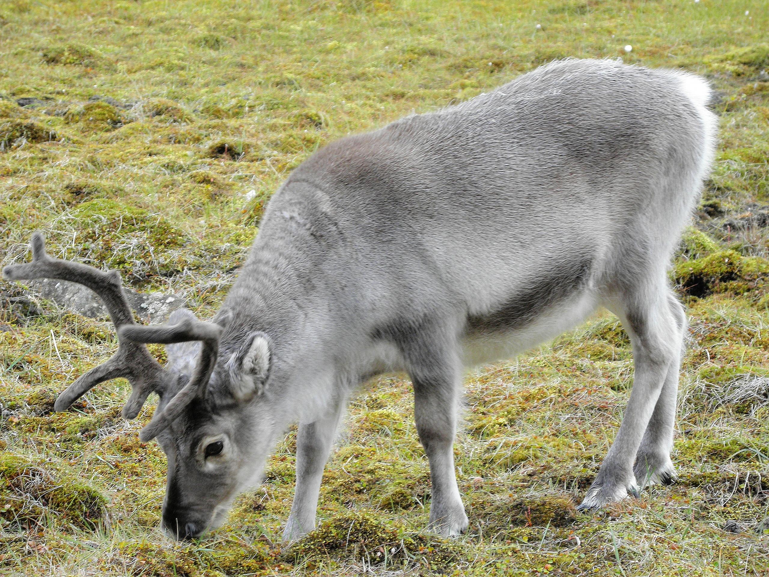 File:Svalbard reindeer.jpg - Wikimedia Commons