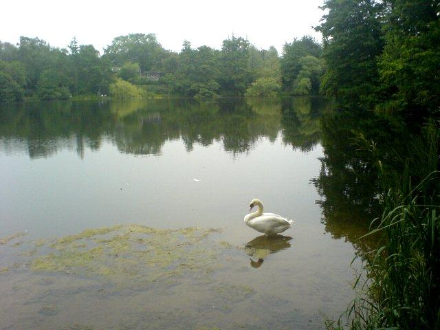 Swan in Sevenoaks Wildlife Centre - geograph.org.uk - 203179