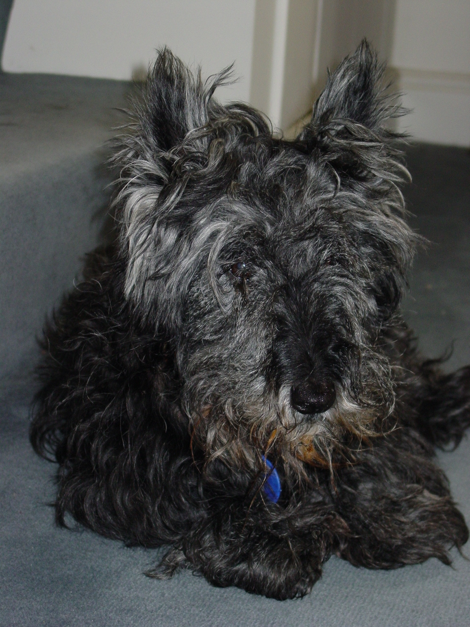 Scottish Terrier (9 years)