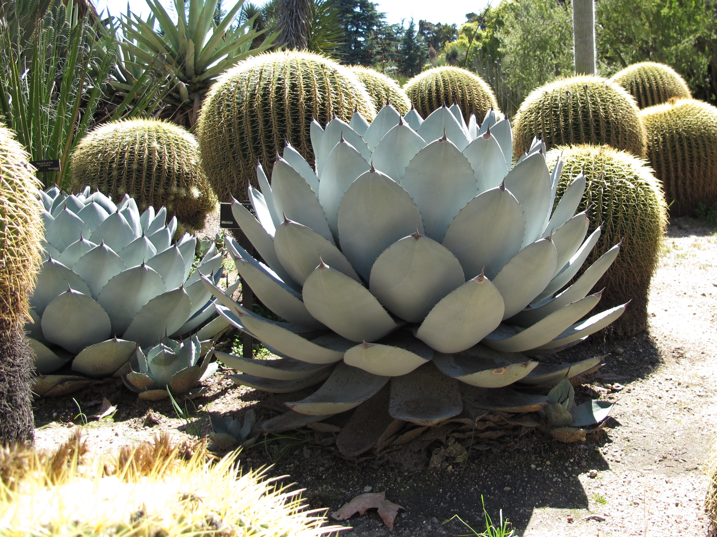 File:Agave parryi 3.jpg - Wikimedia Commons