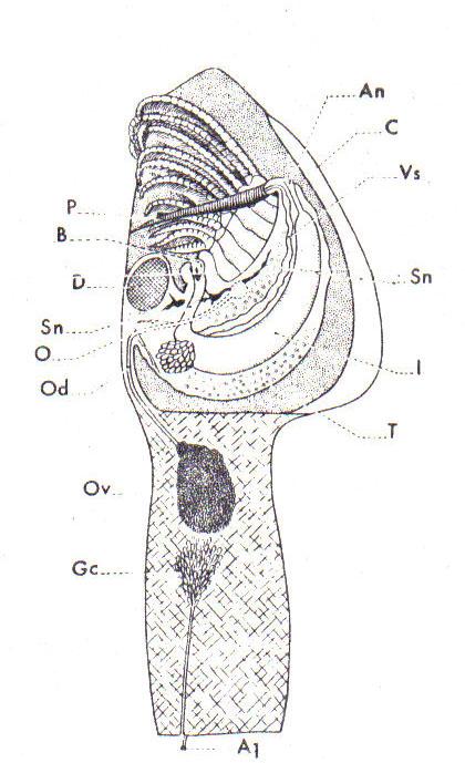 File:Anatomie pouce-pied.jpg - Wikimedia Commons