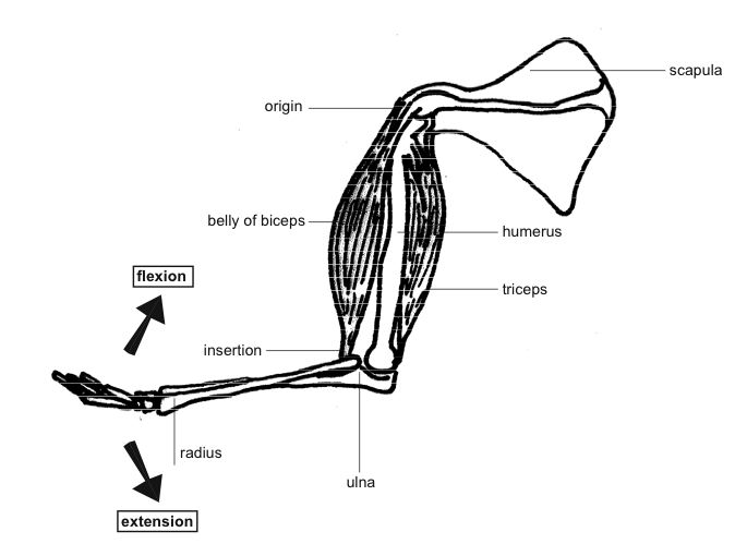 Anatomy and physiology of animals Antagonistic muscles, flexion&tension.jpg