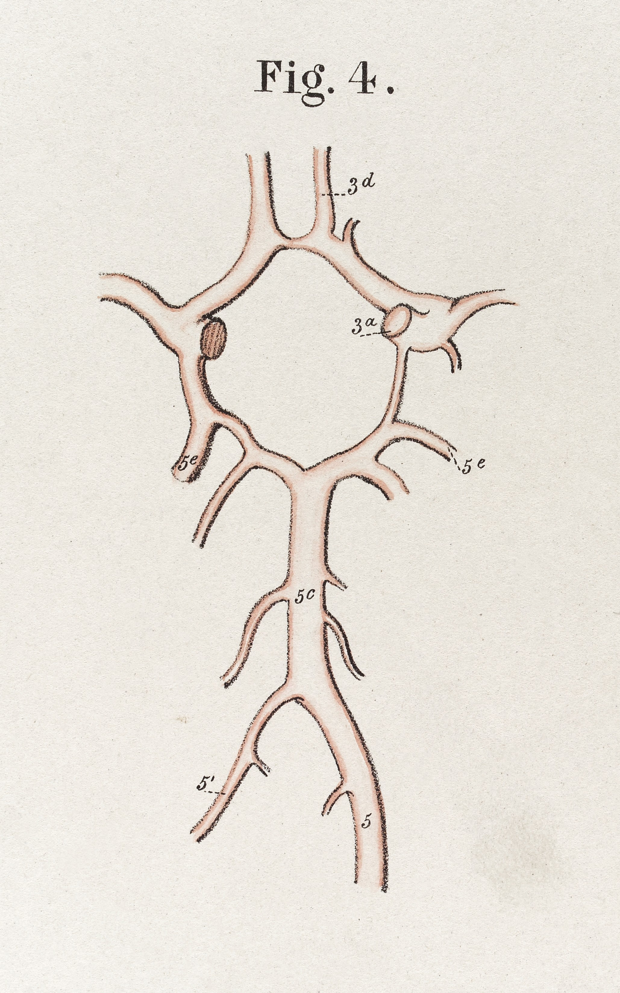 File:Arteries at base of brain, \'Circle of Willis\' Wellcome L0037453 ...