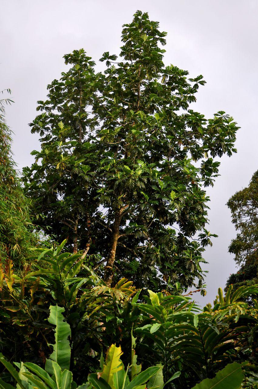 file artocarpus altilis var non seminifera fruit pain 2 jpg wikimedia commons. Black Bedroom Furniture Sets. Home Design Ideas