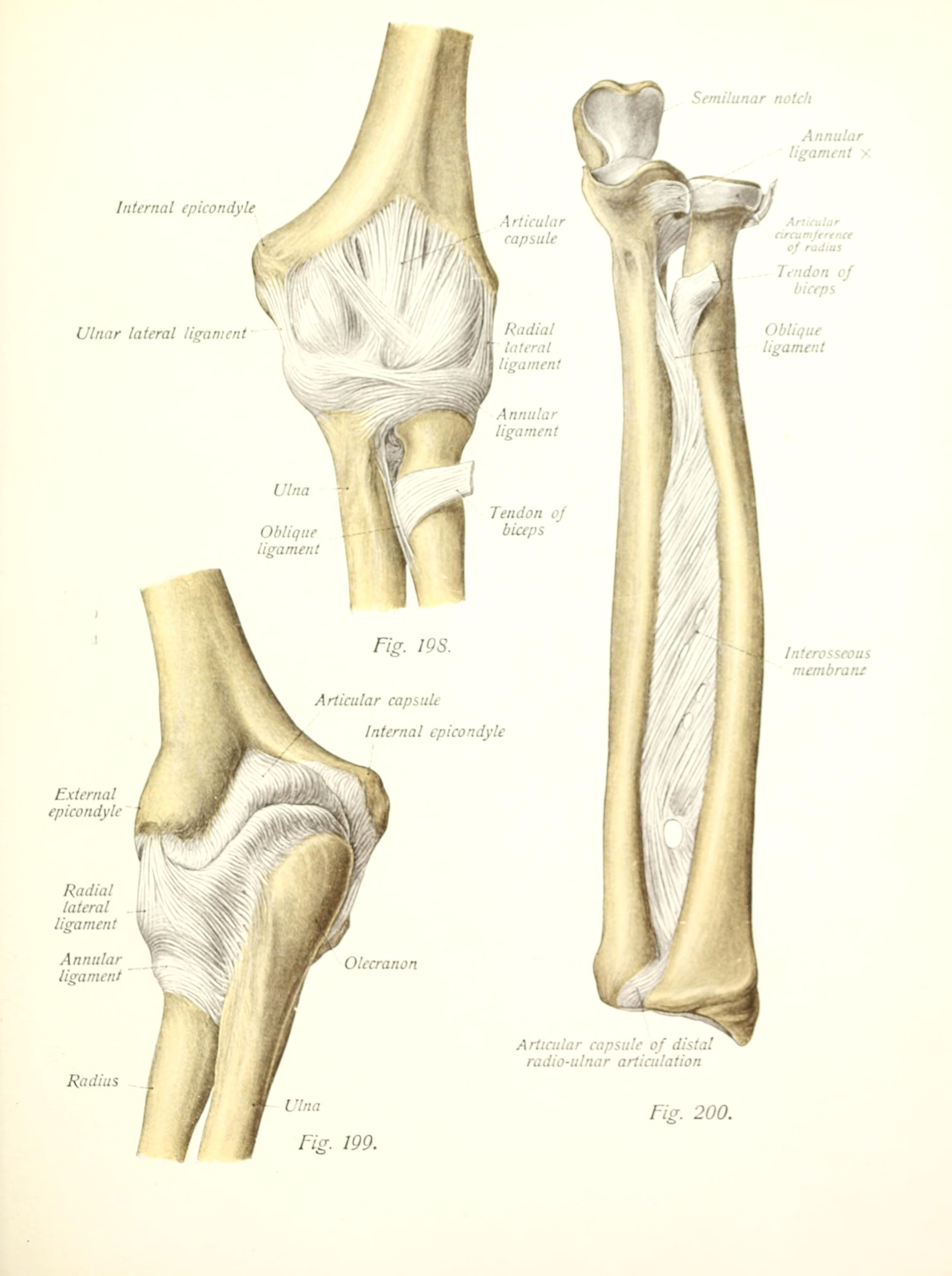 ملف:Atlas and text-book of human anatomy (1914-) (20351321691).jpg ...