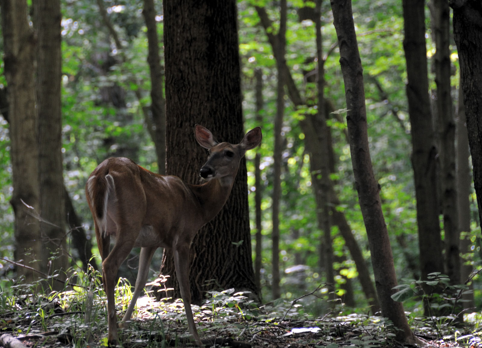 file:bambi in the woods (2670078276) - wikimedia commons