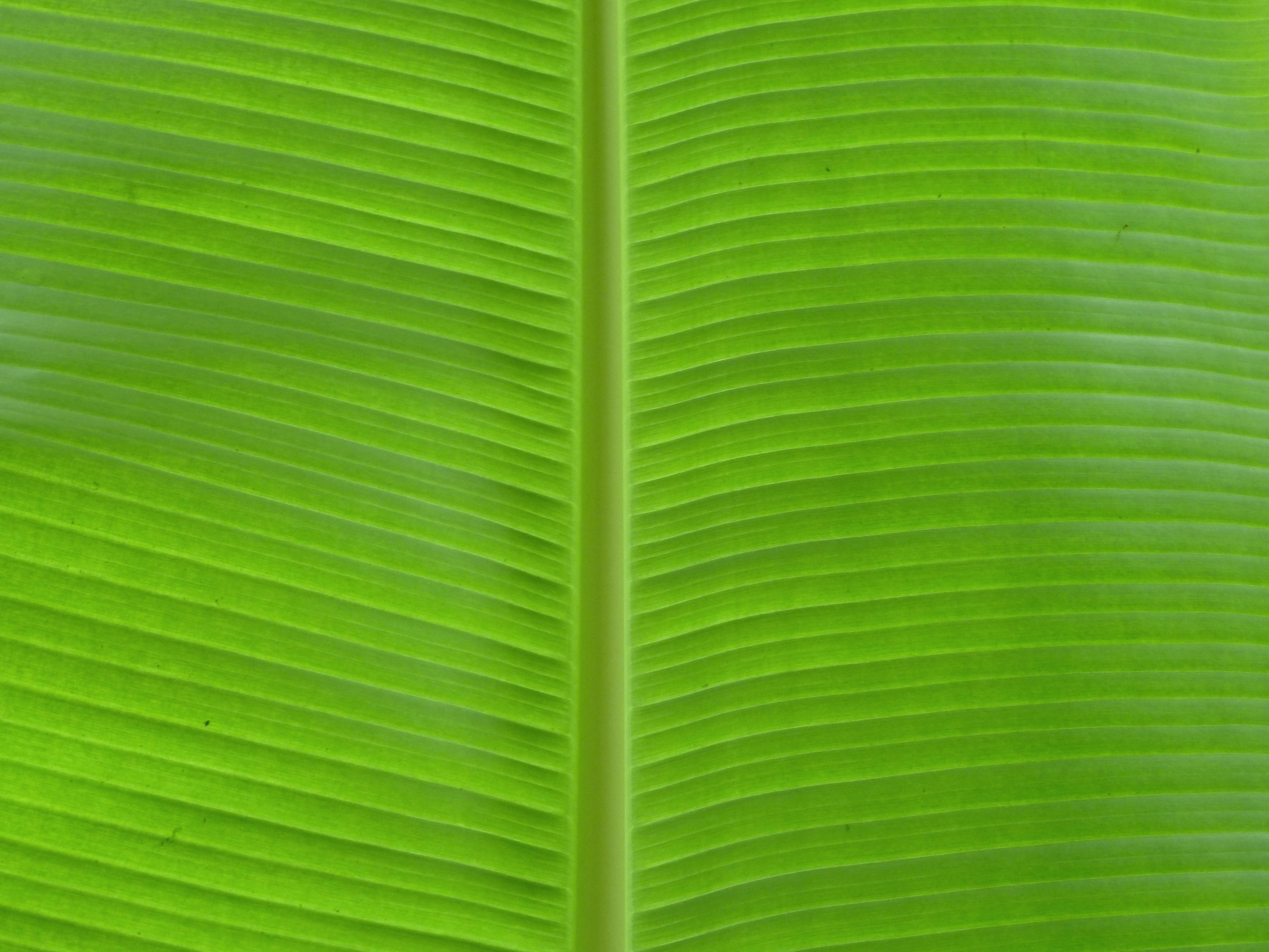 file banana leaf at agua azul 8264762788 jpg wikimedia