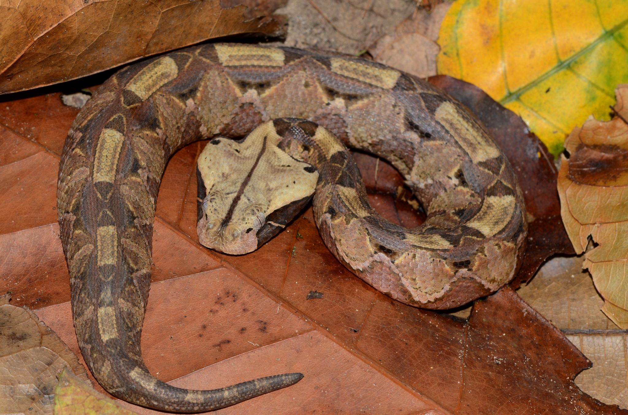 Gaboon Viper Wikipedia