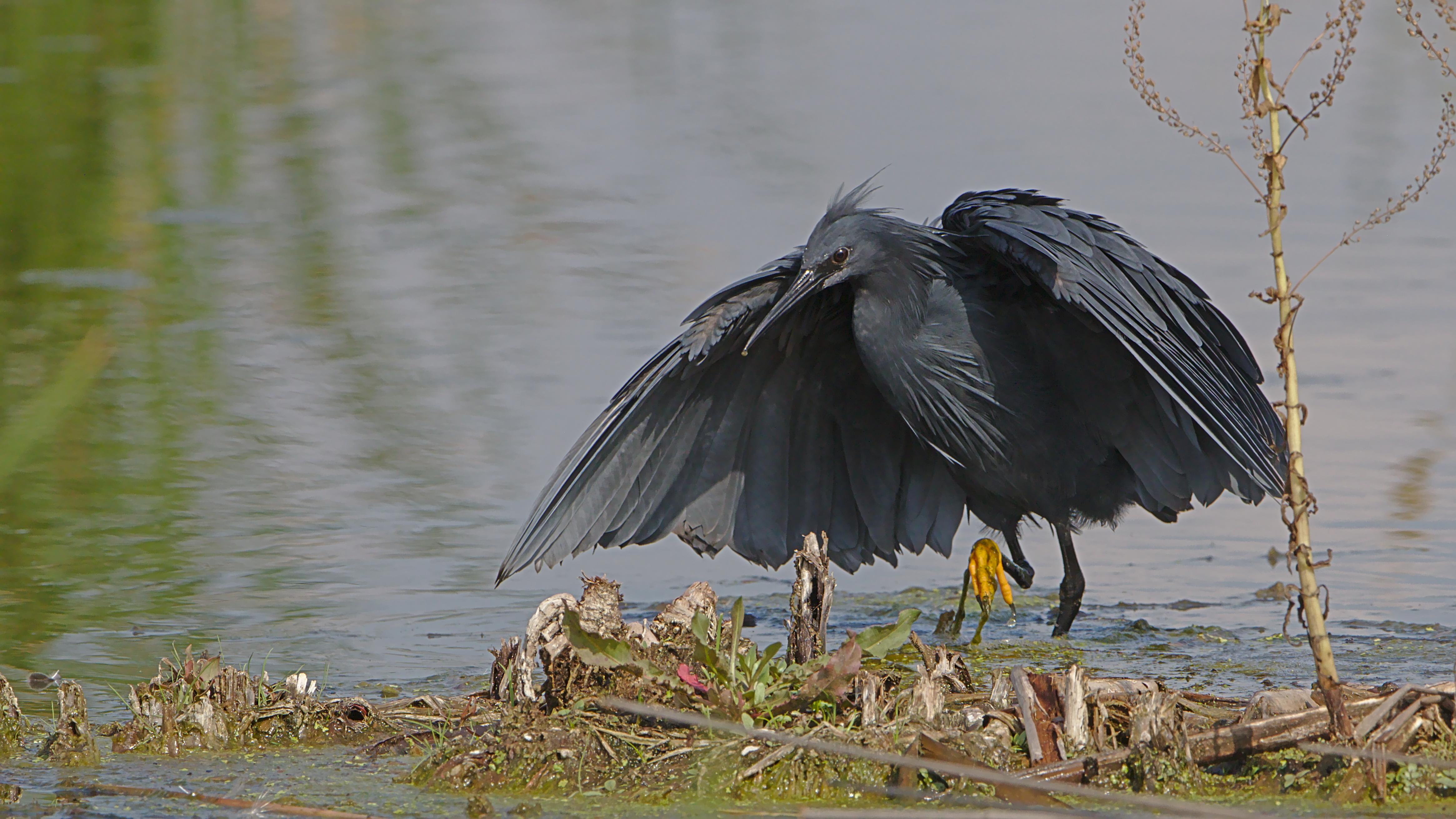 file black heron egretta ardesiaca at marievale nature reserve