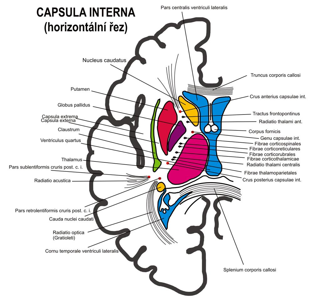 Capsula internă - Wikipedia