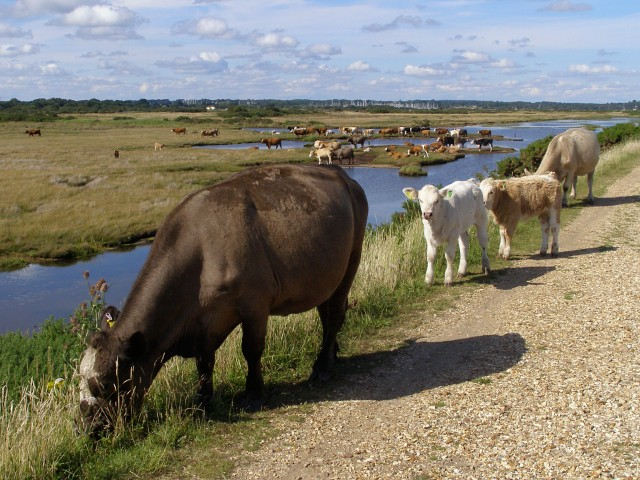 Cattle on the sea wall, Pennington Marshes - geograph.org.uk - 505133