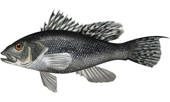 black bass  Centropristis_striata