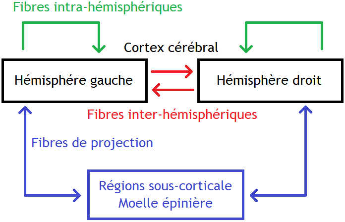 Classification des fibres de la substance blanche cérébrale.