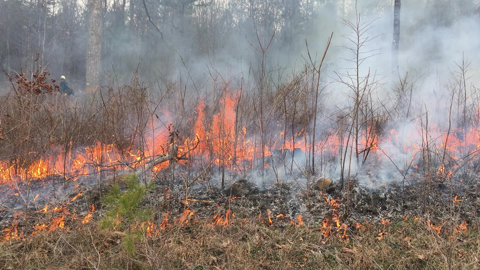 File:Controlled burn to restore mountain longleaf pine in northwest