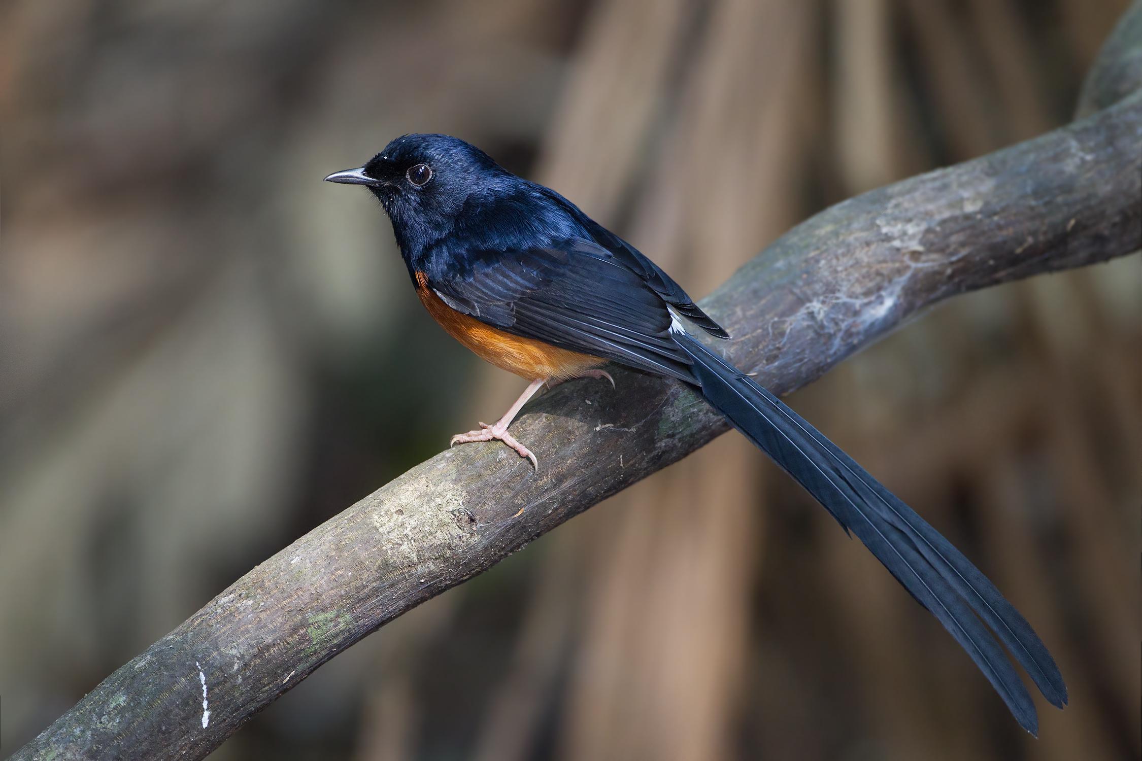 Burung Murai Batu Wikipedia Bahasa Melayu Ensiklopedia Bebas