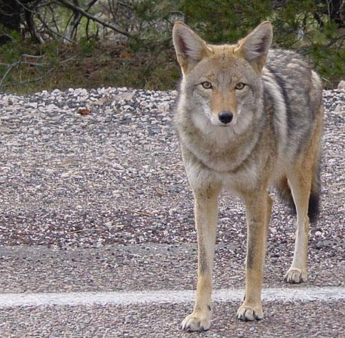 File:Coyote arizona.jpg