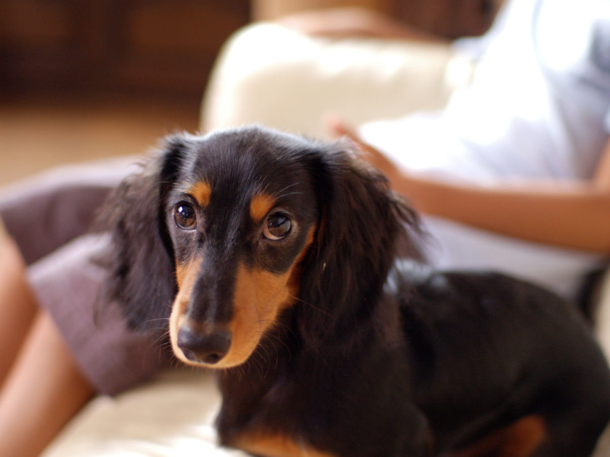 Description Dachshund longhaired puppy.jpg