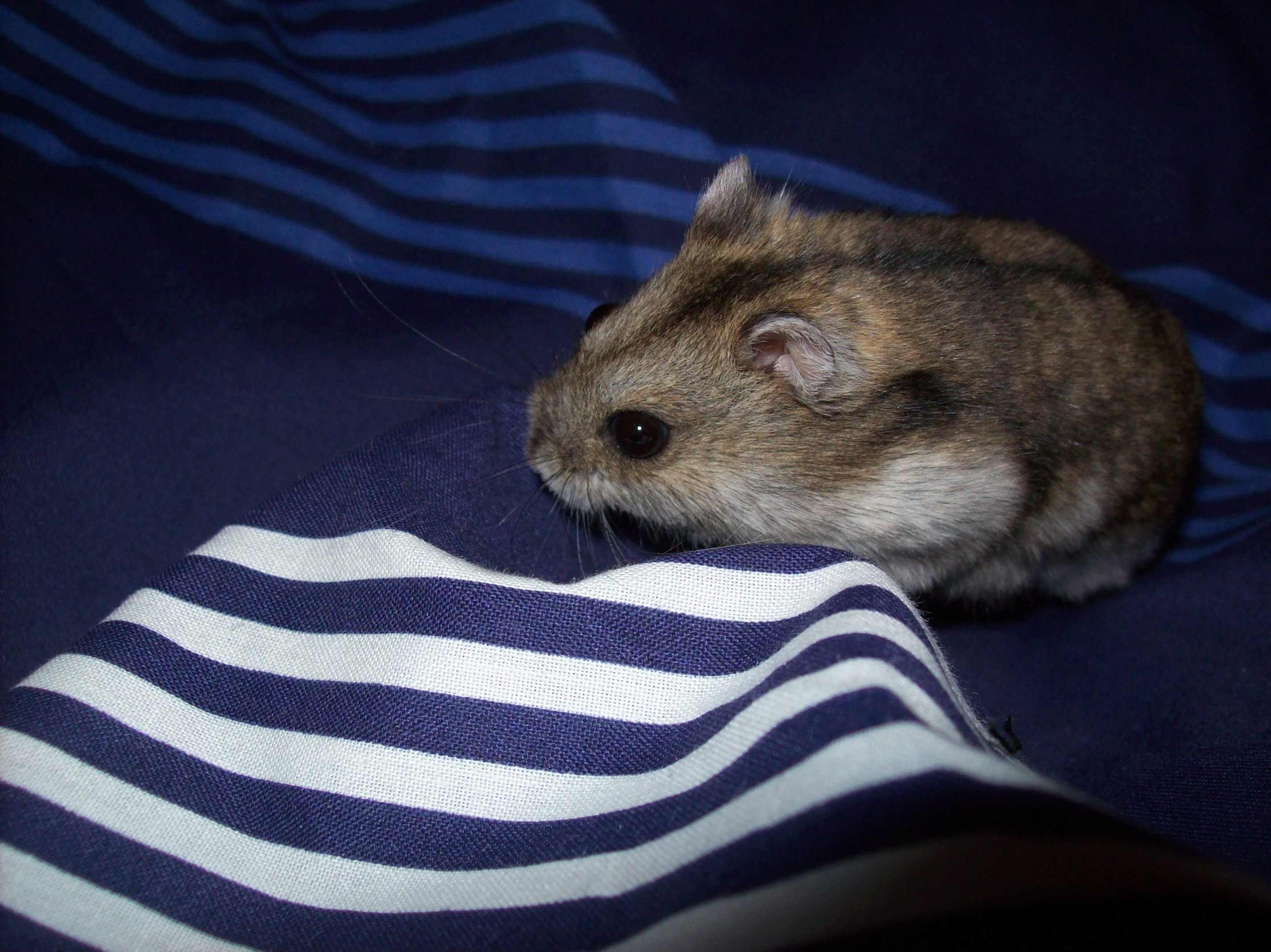 File:Dwarf campbell hamster male 2012 jpg - Wikimedia Commons