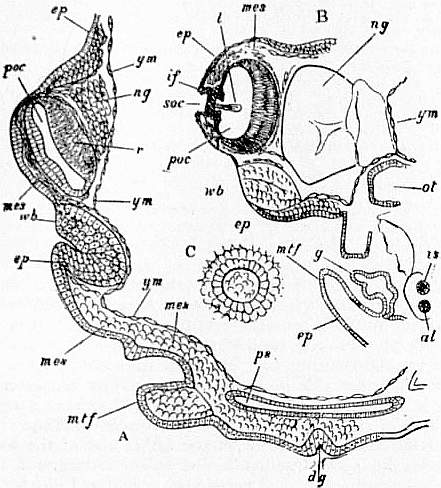 EB1911 Cephalopoda Fig. 37.—Right and left sections through embryos of Loligo.jpg