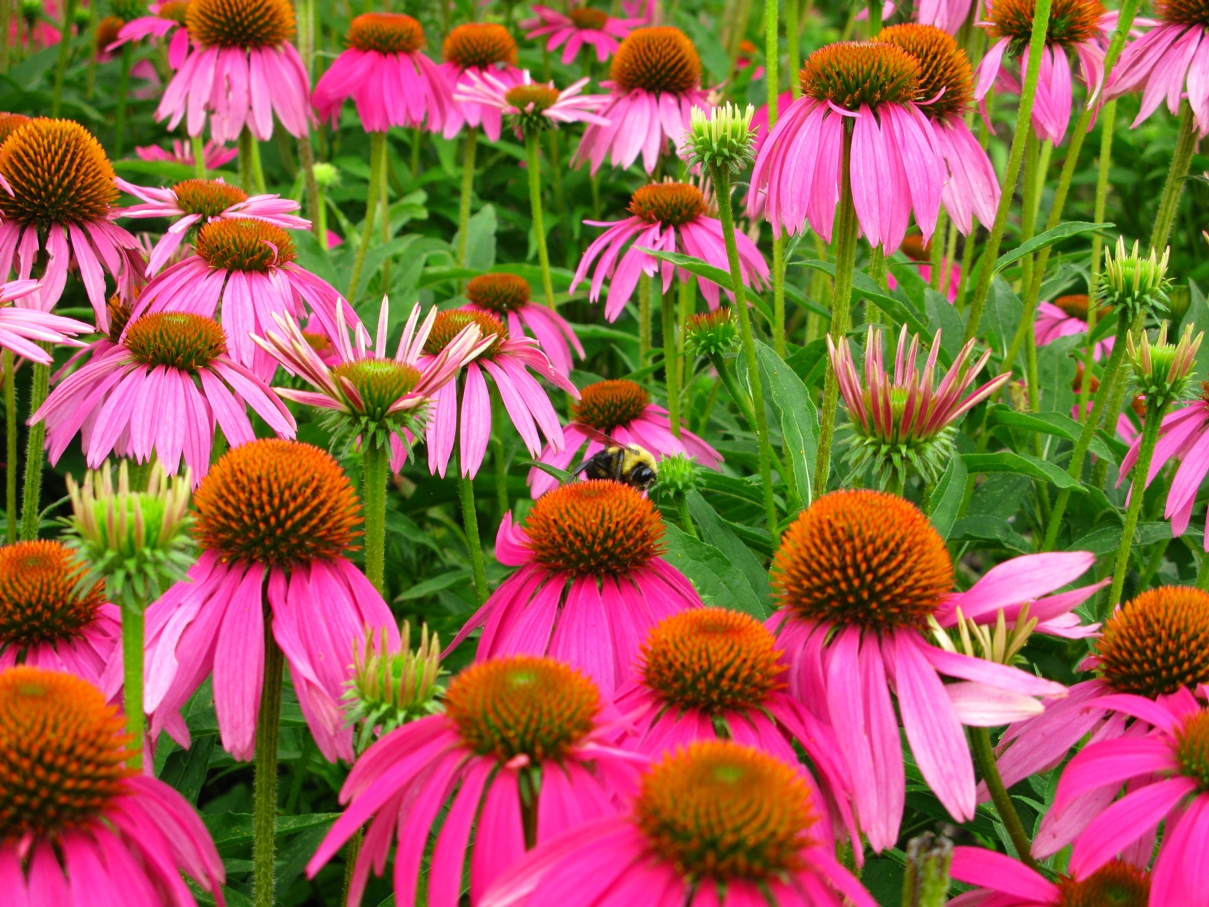 file echinacea purpurea with bumble wikimedia. Black Bedroom Furniture Sets. Home Design Ideas