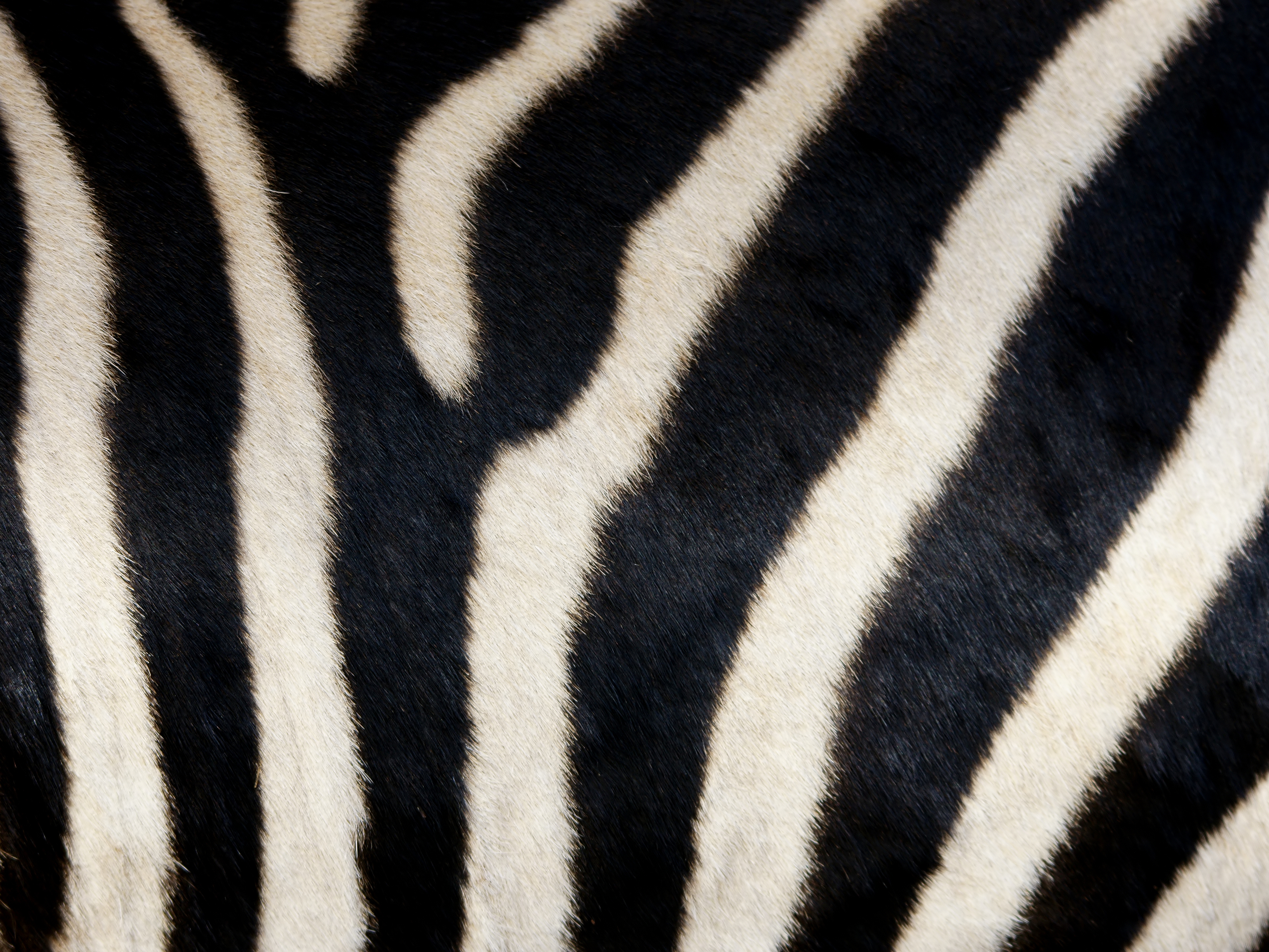 Zebra Bathroom Ideas Zebra Skin