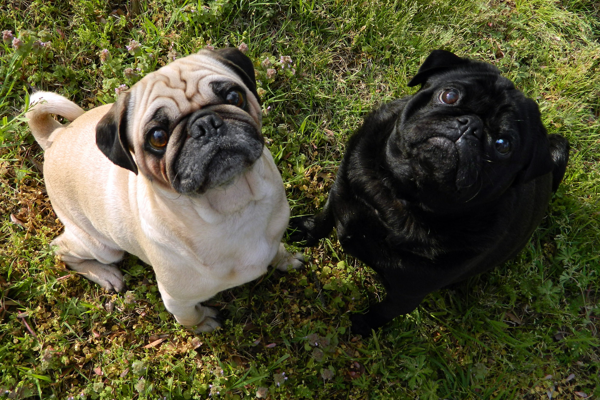 Filefawn Pug And Black Pugjpg Wikimedia Commons
