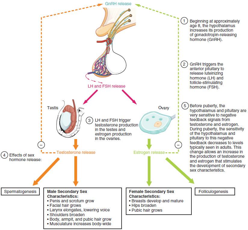 Luteinizing hormone - Wikiwand
