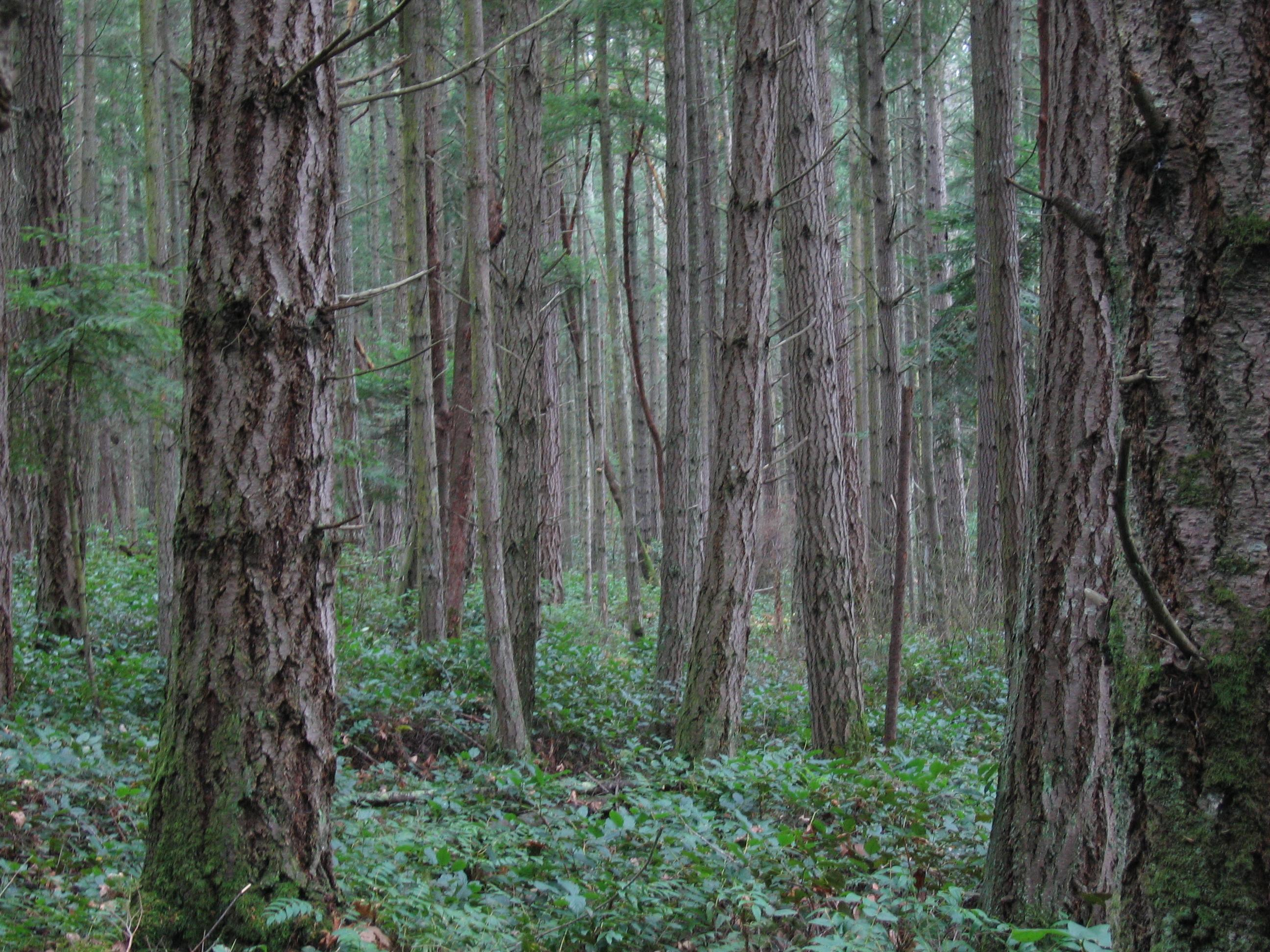 Description forest on san juan island