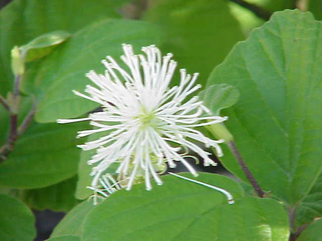 A white ray-like globe of a flower amidst big green leaves