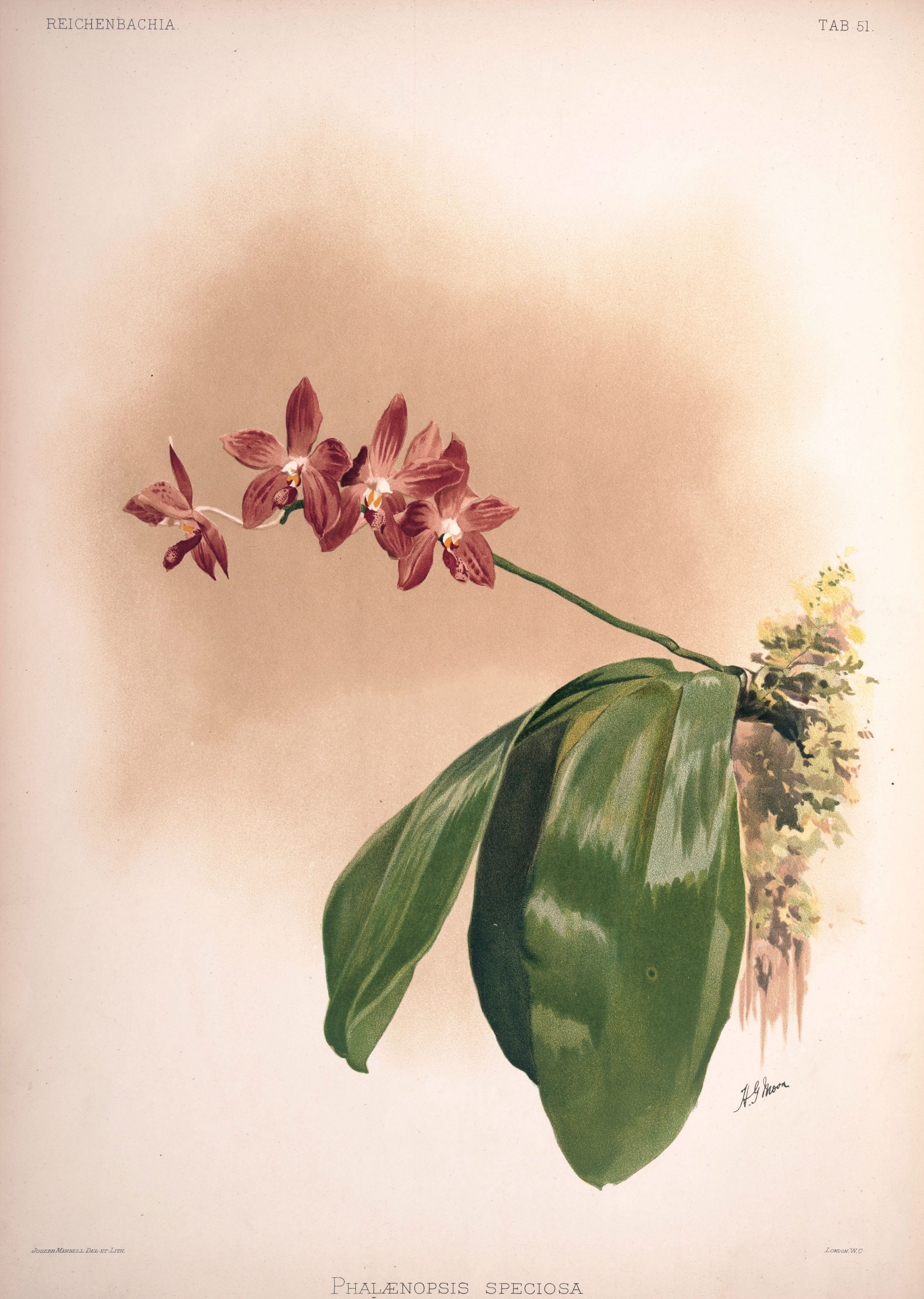 Discussion autour de Phalaenopsis tetraspis et speciosa Frederick_Sander_-_Reichenbachia_II_plate_51_%281890%29_-_Phalaenopsis_speciosa