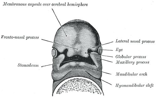 frontonasal prominence