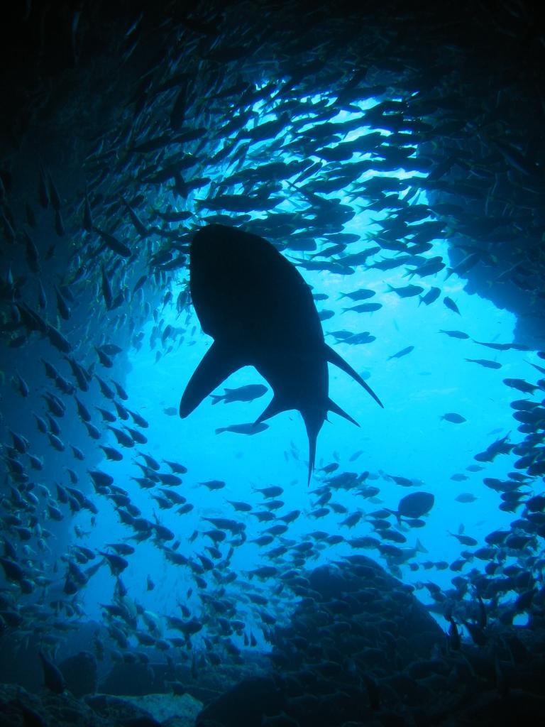 Grey Nurse Shark silhouette at Fish Rock Cave, NSW.jpg