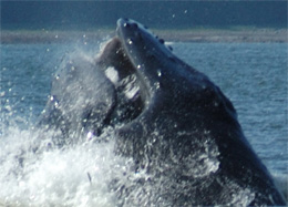 Humpback whales attack herring schools by lunging from below.
