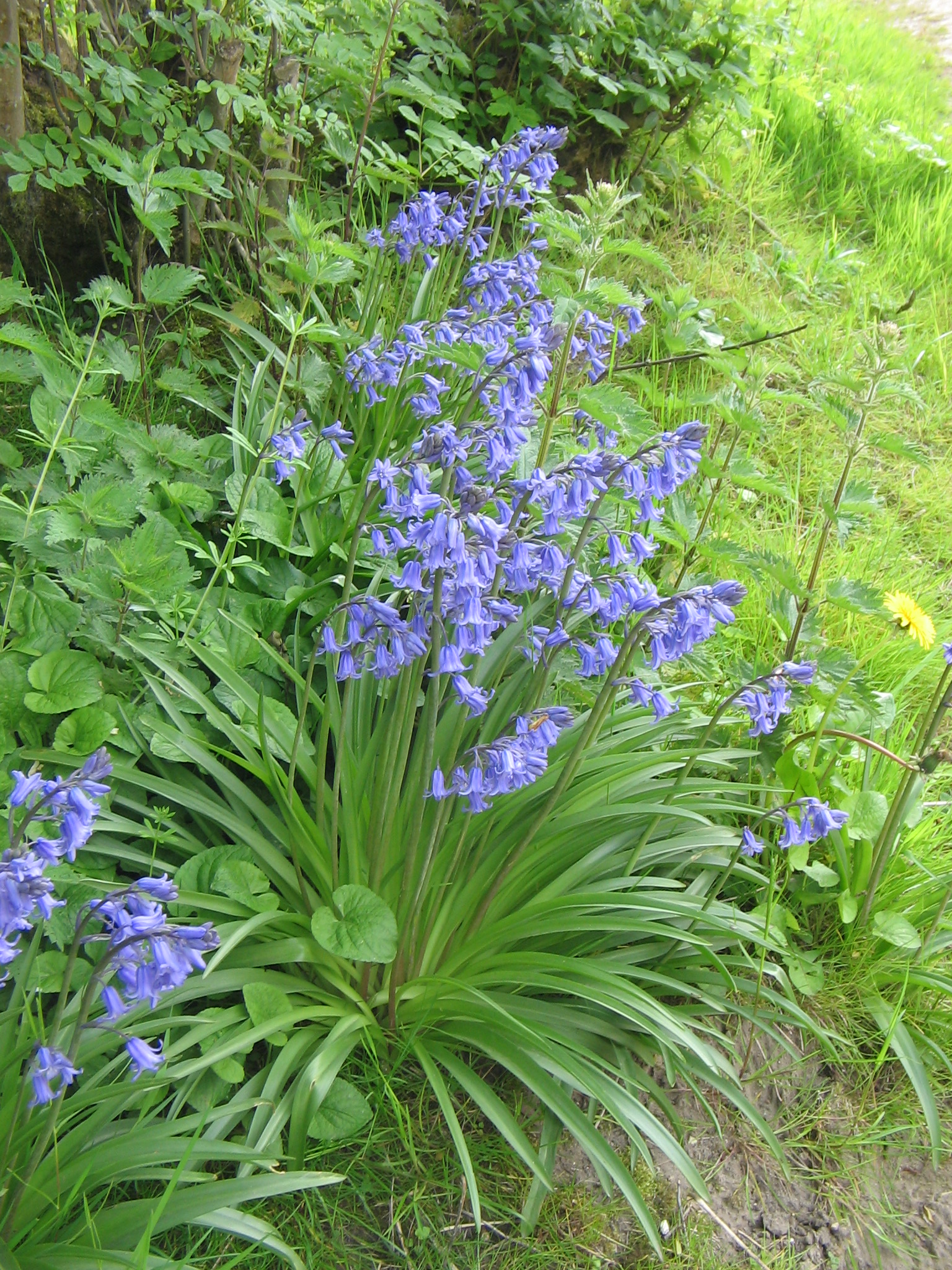 Hyacinthoides ×massartiana Valery1.jpg © Meneerke bloem (Wikimedia Commons - CC-BY-SA-3.0,2.5,2.0,1.0; GFDL)