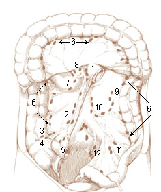 Illu lymph chain09.jpg