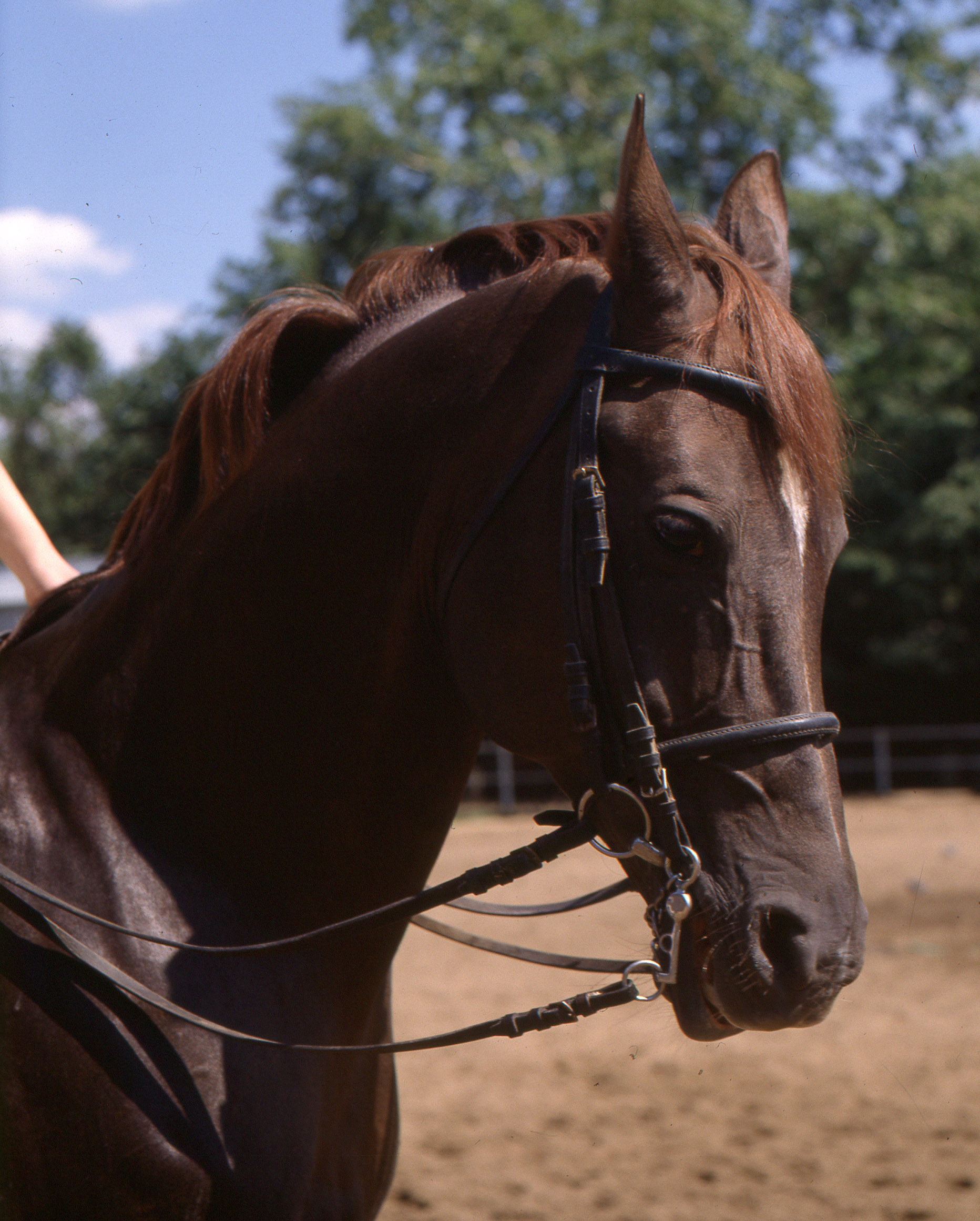 File Liver Chestnut Horse Jpg Wikimedia Commons